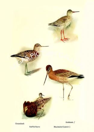 Grcenshank, Ruff & Reeve, Redshank & Blacktailed Godwit
